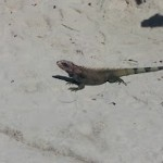 Iguana Photo from Magen's Bay