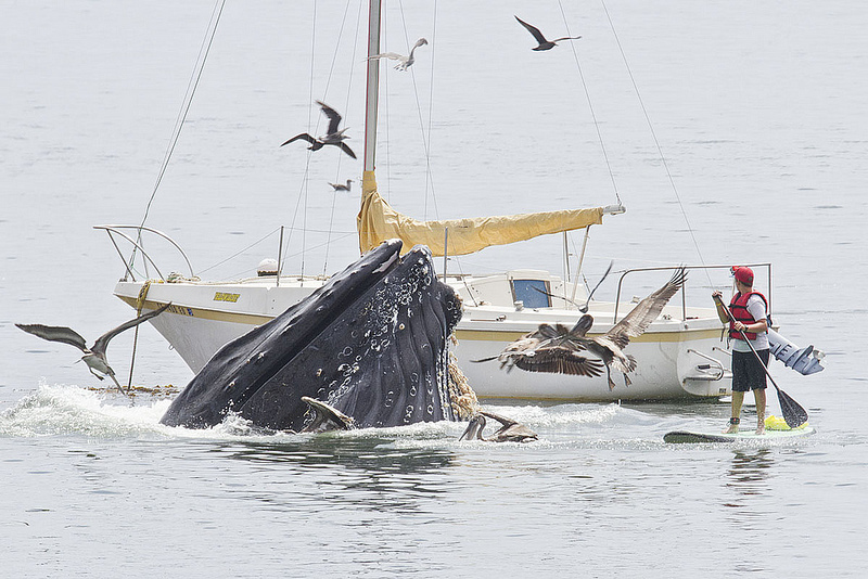 Humpback Whales put on a show