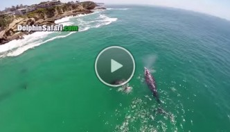 Blue Whale GoPro Drone Video