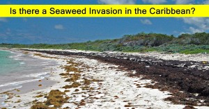 Is there a Seaweed invasion in the Caribbean?